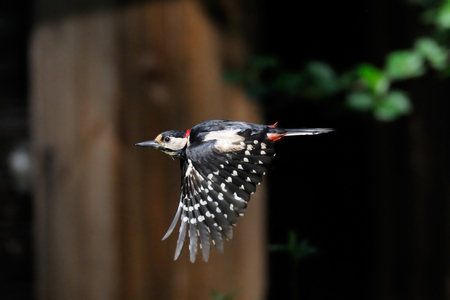 great: Great Spotted Woodpecker Dendrocopos major flying near old house. Moscow region, Russia
