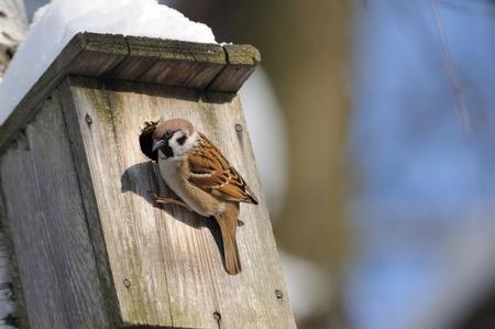 animal bird: Eurasian Tree sparrow Passer montanus near nestling box. Moscow, Russia