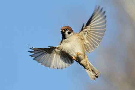 Flying Eurasian Tree Sparrow Passer montanus in autumn. Moscow region, Russia