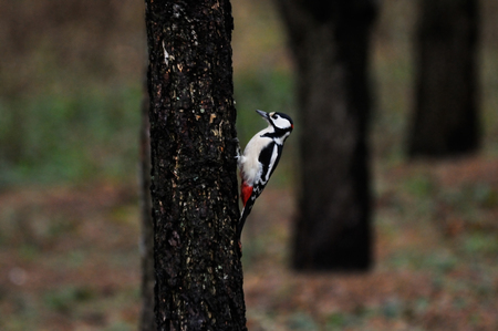 dendrocopos: Great Spotted Woodpecker Dendrocopos major in dull park. Moscow, Russia Stock Photo