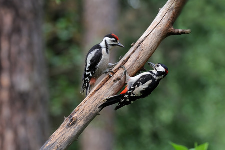 dendrocopos: Adult Great Spotted Woodpecker Dendrocopos major feeds nestling. Moscow region, Russia