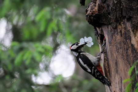 Great Spotted Woodpecker Dendrocopos major feeds nestling in nest hollow. Moscow region, Russia Stock Photo