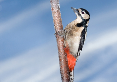 dendrocopos: Great Spotted Woodpecker Dendrocopos major in winter. Moscow region, Russia