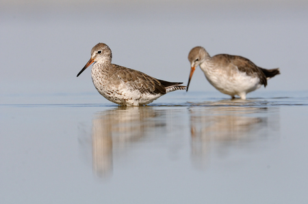 tetanus: Two Common Redshanks (Tringa tetanus) in August plumage at Manych lake. Kalmykia, Russia