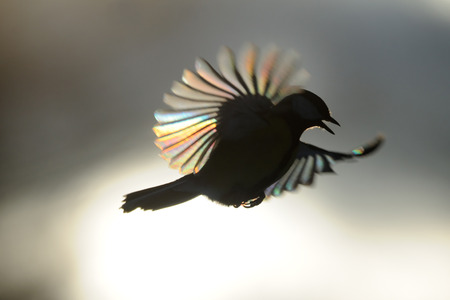 diffraction: Firebird. The passerine with sun ray diffraction on tiny feathers. Tree sparrow Passer montanus. Moscow; Russia.