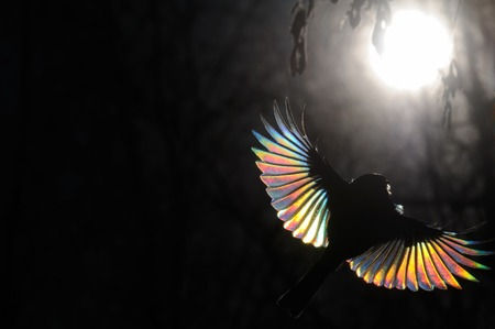 People need special conditions to see a rainbow. Just similarly you have to choose a Firebird. The passerine with sun ray diffraction on tiny feathers.  Great Tit, Parus major Stock Photo