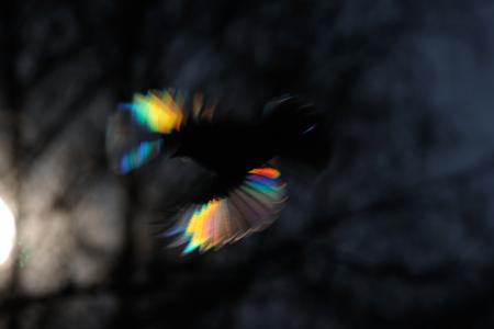파이어 버드. 작은 깃털에 태양 광선 회절을 가진 passerine. 스톡 콘텐츠
