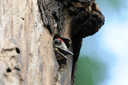 dendrocopos: Great Spotted Woodpecker Dendrocopos major nestling in nest hollow. Moscow region, Russia