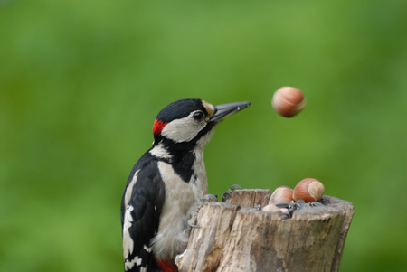 dendrocopos: Great Spotted Woodpecker Dendrocopos major on the feeder slipped a nut and now observes how it removes with rotation. Stock Photo