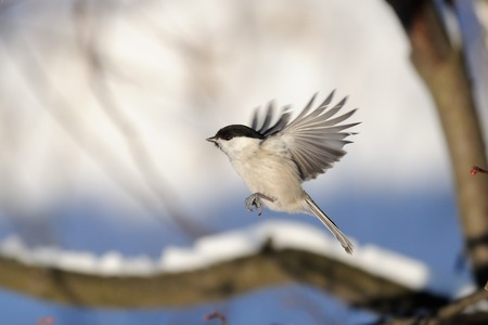 poecile: Flying Willow tit Poecile montanus in snowy winter forest Stock Photo