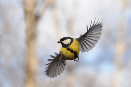 parus major: Front view of flying Great tit Parus major Stock Photo