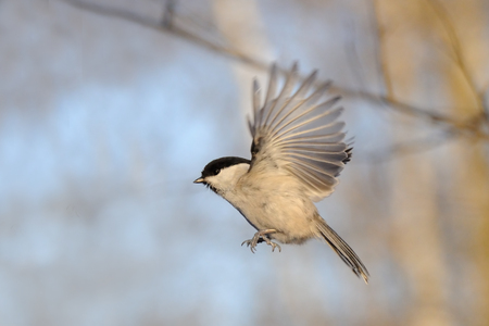 poecile: Flying Willow tit Poecile montanus in winter