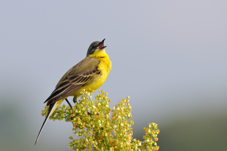 motacilla: Perching Western Yellow Wagtail Motacilla flava sings. Moscow region, Russia Foto de archivo