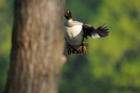 investigates: Flying female Goldeneye Bucephala clangula investigates possible nesting hollow. Moscow, Russia