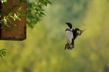 investigates: Flying female Goldeneye Bucephala clangula investigates possible nest box. Moscow, Russia Stock Photo