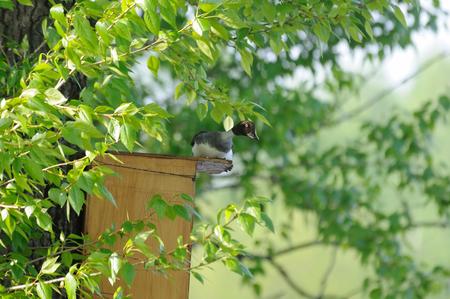 Female Goldeneye Bucephala clangula investigates possible nest box. Moscow, Russia Banco de Imagens