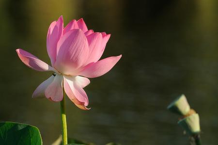 nelumbo: Caspian lotus Nelumbo caspica in Volga delta. Astrakhan region, Russia