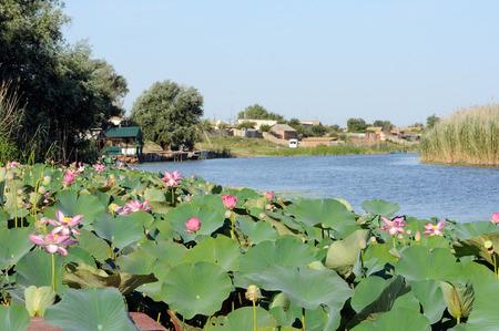 nelumbo: Caspian lotus Nelumbo caspica field in Volga delta. Astrakhan region, Russia Stock Photo