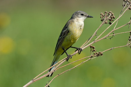 motacilla: Perching female Yellow wagtail Motacilla flava at summer meadow. Near Moscow, Russia