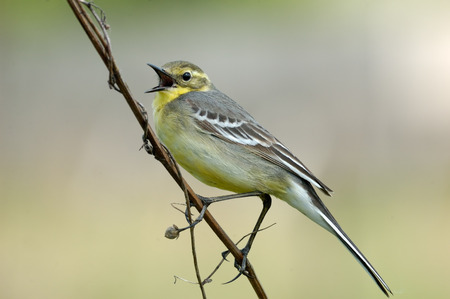 cries: Perching female Citrine wagtail Motacilla citreola cries near nest. Near Moscow, Russia