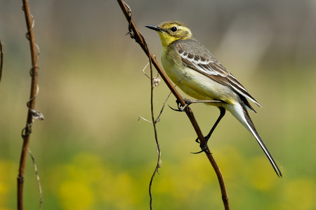 motacilla: Perching female Citrine wagtail Motacilla citreola in yellow summer meadow. Near Moscow, Russia Foto de archivo