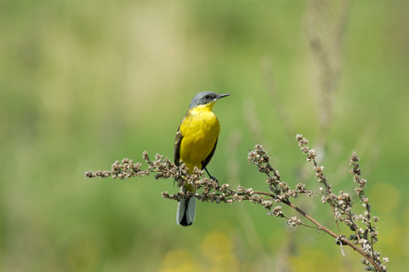 wagtail: Perching male Yellow wagtail Motacilla flava at summer meadow. Near Moscow, Russia