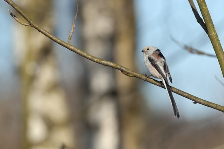 perching: Perching long-tailed tit Aegithalos caudatus in birch forest. Moscow region, Russia