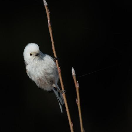 perching: Perching Long-tailed tit