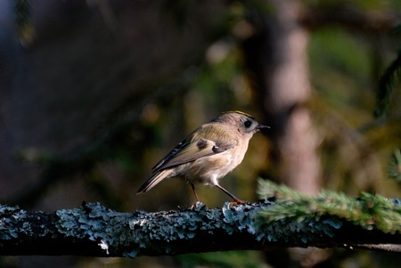 firry: Sunny Goldcrest Regulus regulus in dark firry forest. Moscow region, Russia