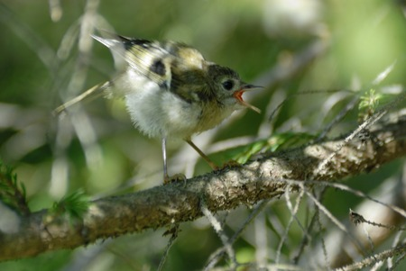 firry: Crying baby goldcrest bird Regulus regulus in firry forest. Moscow region, Russia