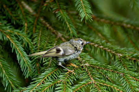 firry: Moulting Goldcrest Regulus regulus in firry forest, Moscow region, Russia Stock Photo