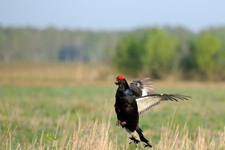 grouse: Mating call of jumping male Black grouse Tetrao tetrix early morning. Moscow region, Russia