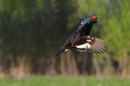 grouse: Flying Black grouse Stock Photo