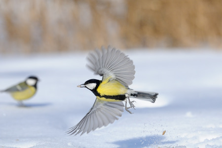 parus major: Flying Great Tit Parus major with a seed above the snowdrift. Moscow region, Russia Stock Photo