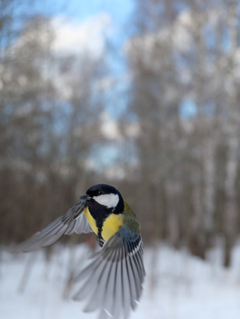 parus major: Flying Great Tit Parus major in winter forest. Moscow region, Russia
