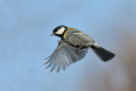 parus major: Flying Great tit Parus major against blue sky background
