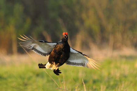 grouse: Jumping Black grouse Stock Photo