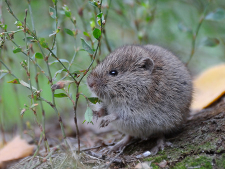 vole: Common Vole Microtus arvalis among grass