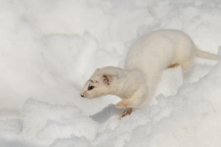 nivalis: Winter Least Weasel Mustela nivalis running in snowdrift Stock Photo