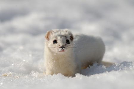 nivalis: Frontal view of Least Weasel Mustela nivalis in snow Stock Photo