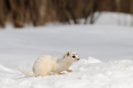nivalis: Moulting Least Weasel Mustela nivalis sitting at snow field Stock Photo