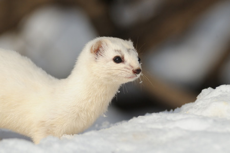 Snowy portrait of Least Weasel Mustela nivalis in winter