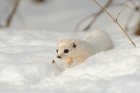 weasel: Winter Least Weasel Mustela nivalis walking through the snowdrift Stock Photo