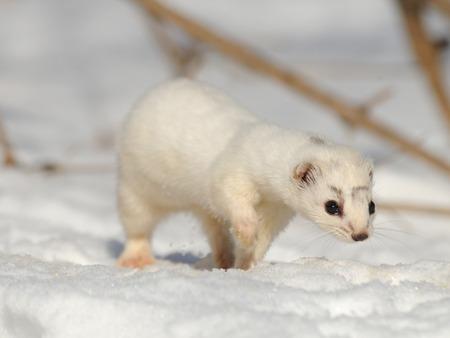 nivalis: Walking winter Least Weasel Mustela nivalis