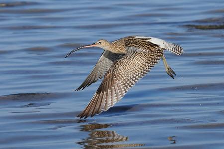 sharm: Eurasian Curlew (Numenius arquata) flying in the Nabq region of Sharm el-Sheikh resort of Red Sea. Sinai, Egypt.