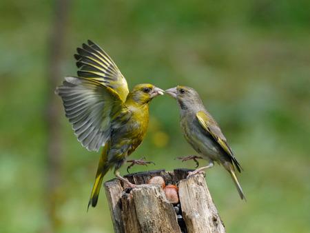 남성과 여성 Greenfinches (Carduelis chloris)는 급 지대에서 충돌