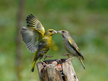 Male and female Greenfinches (Carduelis chloris) conflict at the feeder