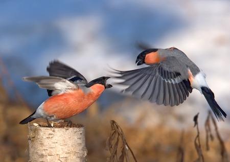 두 남성 Bullfinches (Pyrrhyla pyrrhulla)의 봄 전투 스톡 콘텐츠