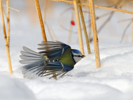 cyanistes: Blue Tit (Parus caeruleus, Cyanistes caeruleus) take-off in the snow
