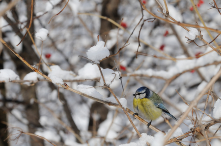 cyanistes: Perching Blue Tit (Parus caeruleus, Cyanistes caeruleus) at snowy snowball tree